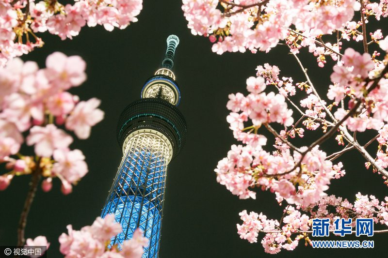 Kawazu-zakura cherry blossoms in bloom with Tokyo Skytree behind on February 22, 2017, in Tokyo, Japan. The Kawazu-zakura variety of cherry blossom always blooms earlier than other varieties. According to the weather information company Weather Map Co. the cherry blossom season in Tokyo is expected to start from March 26. (Photo by Rodrigo Reyes Marin/AFLO)